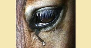 cheval pleure