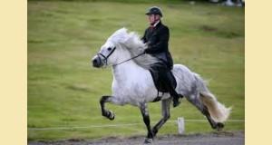 Le Tölt du cheval Islandais