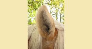 Pferd / Ohren Futtersuche