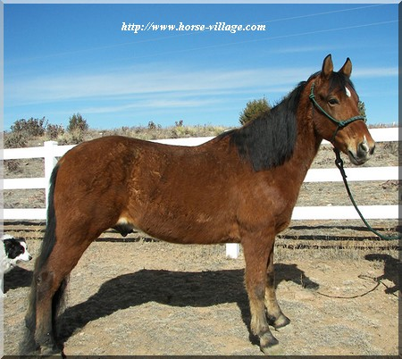 American Gaited Horse