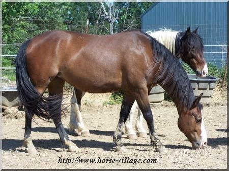 American Ranch Horse