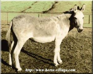 Ane de Ponui (New Zealand Donkey)