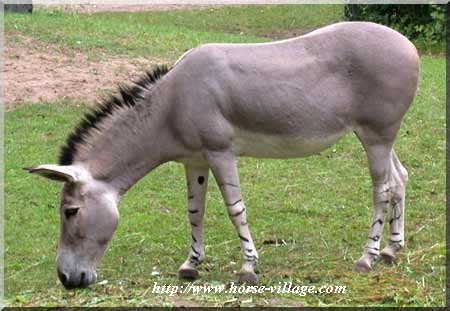 Ane de Somalie (Equus asinus africanus somalinensis)