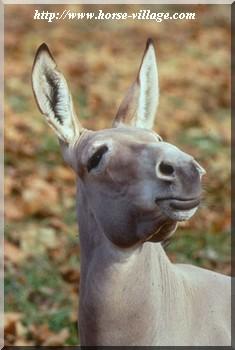 Ass, Wild Ass (âne sauvage, wild donkey)