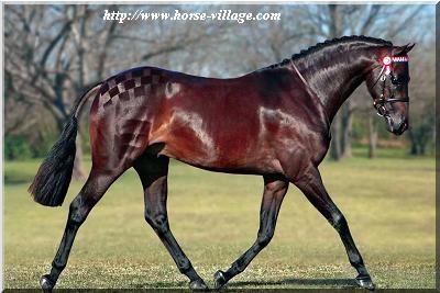 Australian Saddle Poney