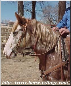 Colorado Wild Horse