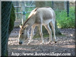 Hemione (Equus hemionus) Ane d'Asie