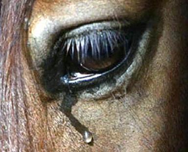 image cheval qui pleure