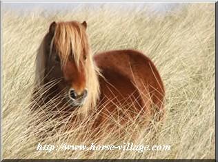 Achetta (poney de la Sardaigne)