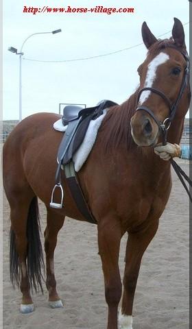 American Appendix Horse