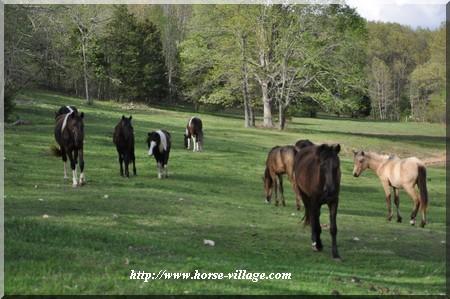 American Gaited Pony