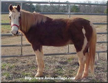 American Half Quarter Horse