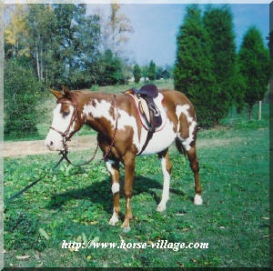 American Performance Horse
