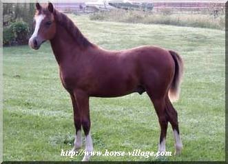 American Welara (Welsh-Arabian, aussi connue comme Welara)