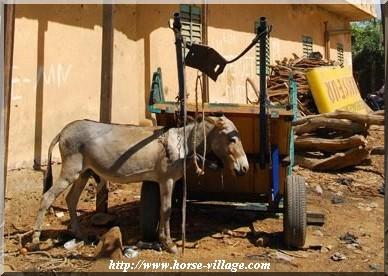 Ane de Mali