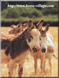 Ane pie d'Irlande (Pibald Donkey)
