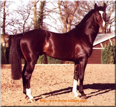 Anglo European Sport Horse