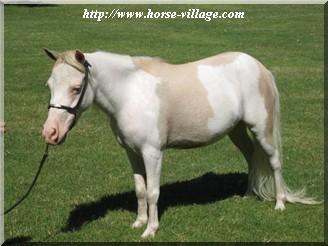 Arenosa Miniature Horse