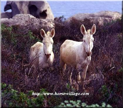 Asino blanco dell' Asinara (âne Sarde)