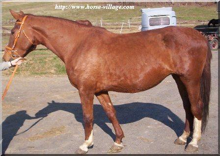Autrichien (cheval de selle d'Autriche , OEWB)