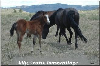 Black Hills Wild Horse