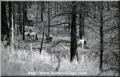 Heber Wild Horse (Mustang, sur les territoires de US Forest Services)