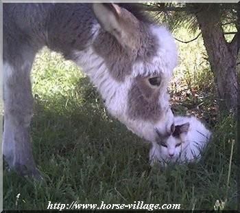 Miniature Donkey (Mini âne)