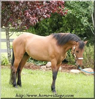 Steens Mountain Kiger Mustang