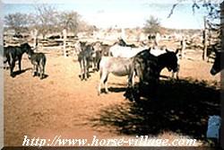 Tswana Donkey (ÂNE DE BOPHUTHATSWANA)