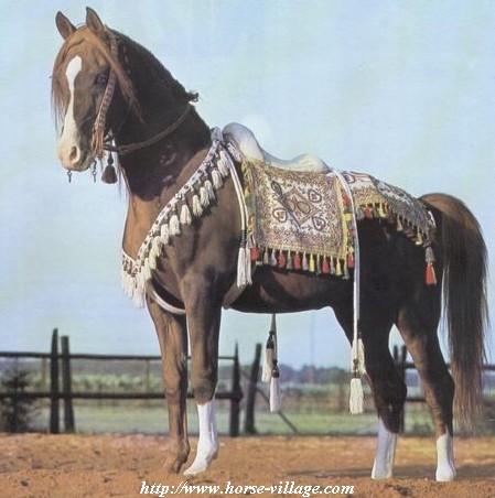 cheval arabe marocain